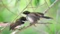 Bird (Malaysian Pied Fantail) feeding baby bird 43308587