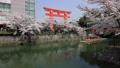 แนวต้นไม้ริมถนน,เกียวโต,ดอกไม้บานเต็มที่ 43363317