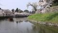 ปราสาทฮิโคเนะ,ดอกซากุระบาน,ซากุระบาน 43363358