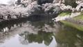 ดอกซากุระบาน,ซากุระบาน,ปราสาทฮิโคเนะ 43363359
