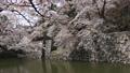 ปราสาทฮิโคเนะ,ดอกซากุระบาน,ซากุระบาน 43363360
