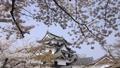 ปราสาทฮิโคเนะ,ดอกซากุระบาน,ซากุระบาน 43363361