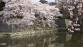 ปราสาทฮิโคเนะ,ดอกซากุระบาน,ซากุระบาน 43363362