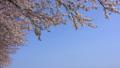 桜の並木道 桜堤公園 日吉津村 43449801