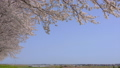 桜の並木道 桜堤公園 日吉津村 ズームイン 43449802