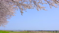 桜の並木道 桜堤公園 日吉津村 43449803