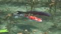 鯉魚 科伊 魚 43625116
