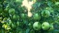 苹果 水果 种植园 43633081