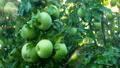 苹果 水滴 落下 43633089