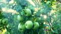 苹果 水果 种植园 43633092