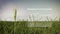 Analysis barley crop on barley field, IoT farming 43677042