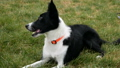 Black and white border collie running on the green grass performs tricks 43700911