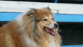collie dog portrait on show 43700914