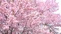 櫻花 櫻 賞櫻 43706572