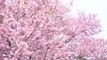 櫻花 櫻 賞櫻 43706575