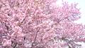 櫻花(向下傾斜拍攝) 43706577