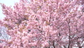 Cherry blossoms (bread shot) 43706580