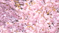 Cherry blossoms (fix shooting) 43706582