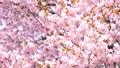櫻花(向上傾斜) 43706586