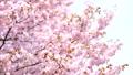 Cherry blossoms (fix shooting) 43706587
