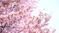 Cherry blossoms (tilt down shooting) 43706589