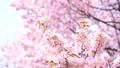 櫻花 櫻 賞櫻 43706593
