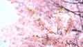 Cherry blossoms (fix shooting) 43706594