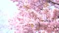 桜(パン撮影) 43706598
