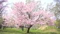 桜(フィクス撮影) 43706600