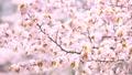 桜(フィクス撮影) 43706604