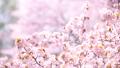 桜(ティルトダウン撮影) 43706607