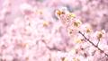 Cherry blossoms (bread shot) 43706613