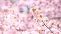 Cherry blossoms (tilt up shooting) 43706615