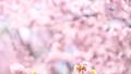 桜(ティルトダウン撮影) 43706616