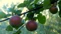 苹果 水滴 落下 43717180
