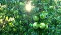 苹果 水滴 落下 43717193