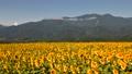 向日葵と鳳凰三山 43752081