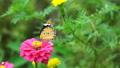 蝴蝶 昆虫 虫子 43774336