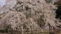 4月 枝垂桜咲く徳源院 滋賀の春景色 43774940
