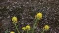 4月 岩倉の五条川の散り桜 43774941