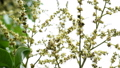 Longan Flower in the garden 43787637
