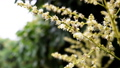 Longan Flower in the garden 43787638