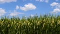 Flowering rice field and blue sky, majestic landscape 43860598