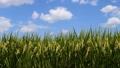 稻穗 晴朗的秋季天氣 結果實 43860598