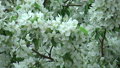 Blossoming white apple tree 43871329