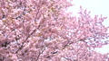 桜(フィクス撮影) 43908621