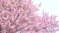 벚꽃 (틸트 업 촬영) 43908624
