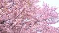 벚꽃 (틸트 다운 촬영) 43908625