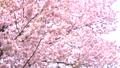 Cherry blossoms (bread shot) 43908626