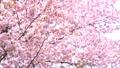 桜(パン撮影) 43908627